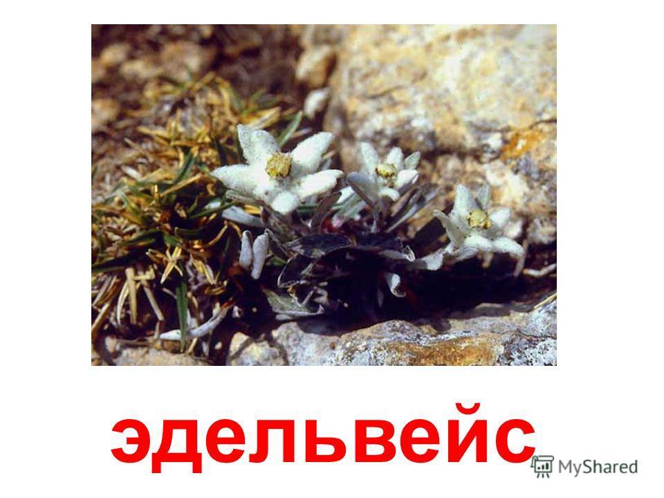 примула(первоцвет)