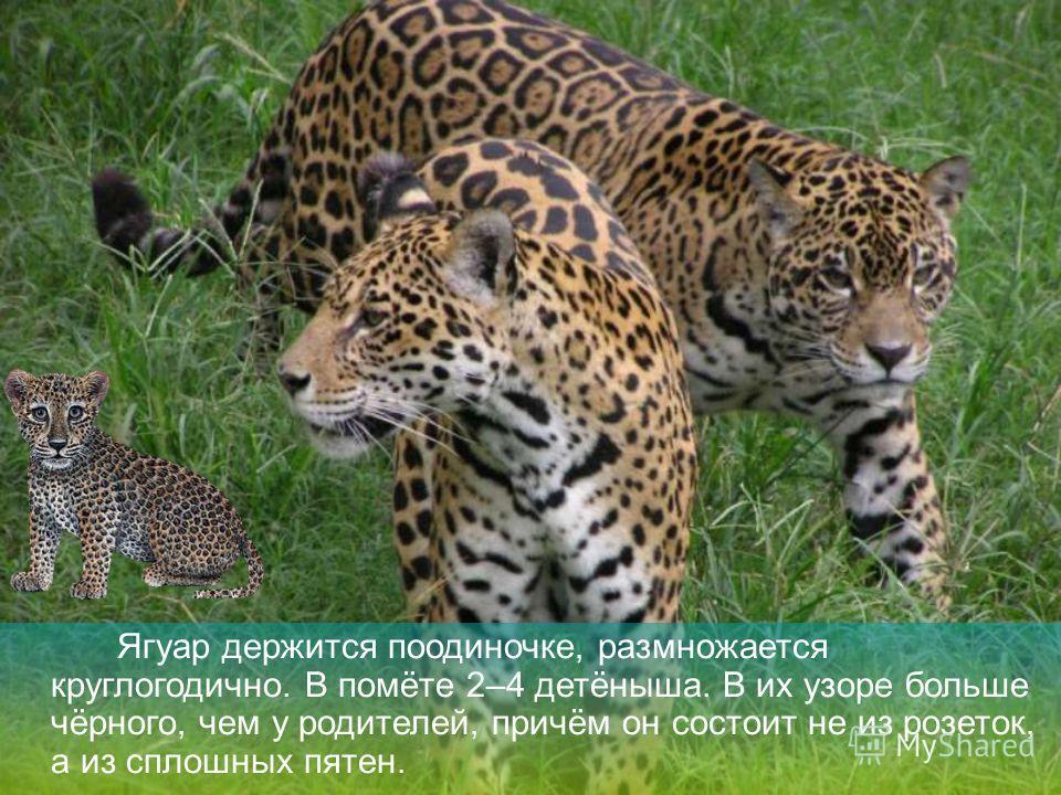 Видео и рассказ о ягуаре