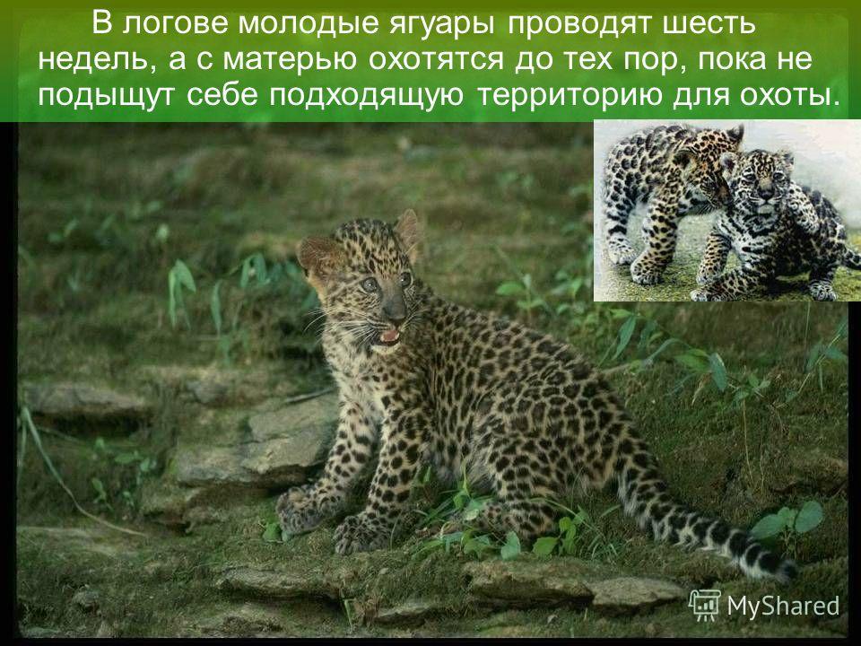 Ягуар держится поодиночке, размножается круглогодично. В помёте 2–4 детёныша. В их узоре больше чёрного, чем у родителей, причём он состоит не из розеток, а из сплошных пятен.