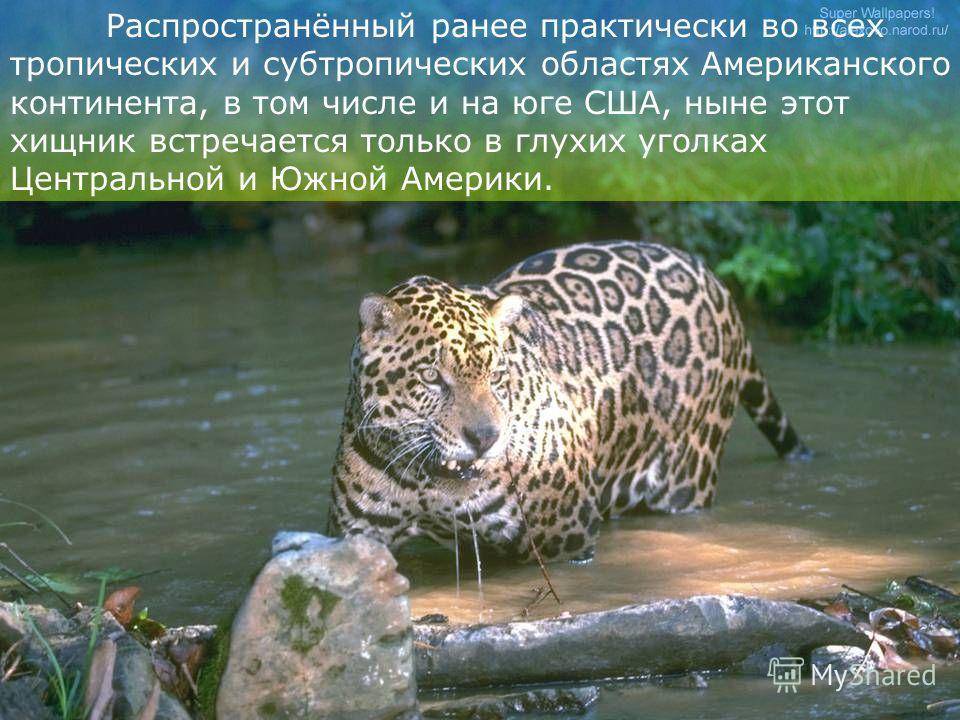 Как и другие представители рода пантера, ягуар всегда служил предметом вожделения охотников. На ягуаров велась интенсивная охота. Яркая пятнистая шкура отличный трофей.