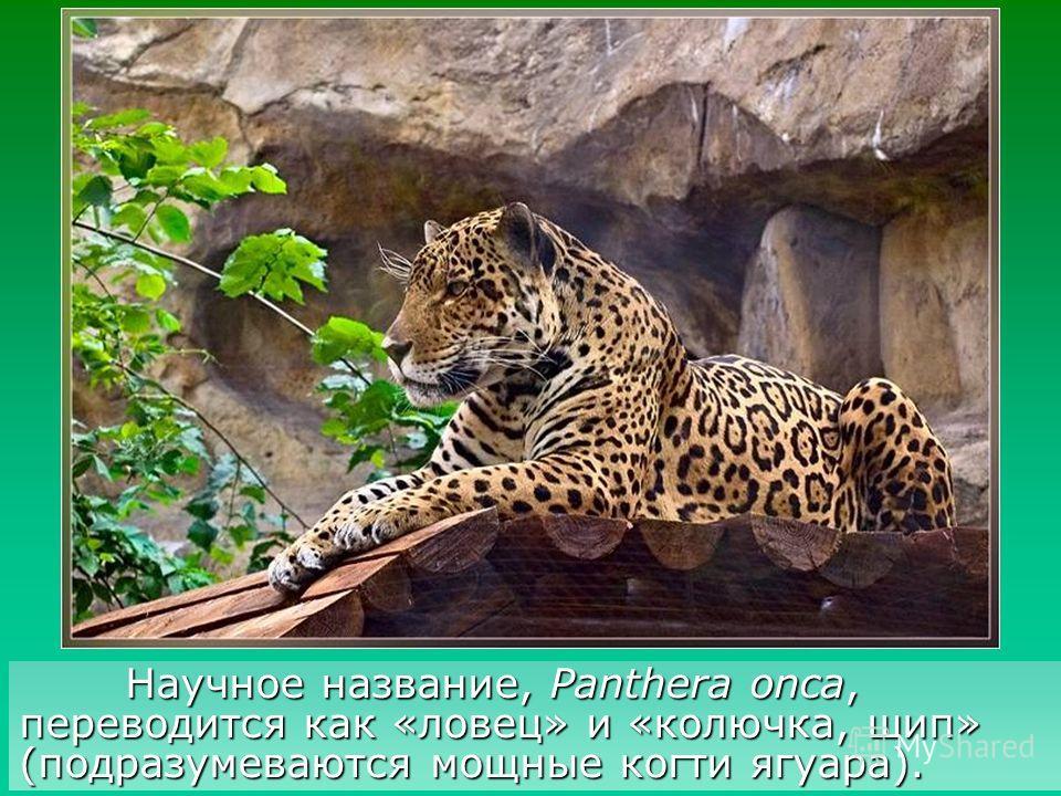 Название (yaguara, jaguarete), предположительно, произошло от древних индейских языков и означало «зверь, убивающий одним прыжком».