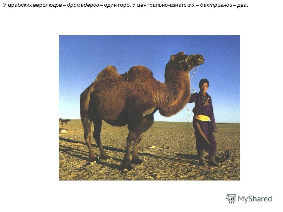 У арабских верблюдов – дромадеров – один горб. У центрально-азиатских – бактрианов – два.