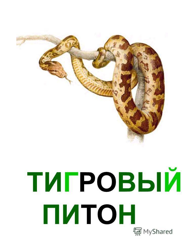 ТИГРОВЫЙ ПИТОН