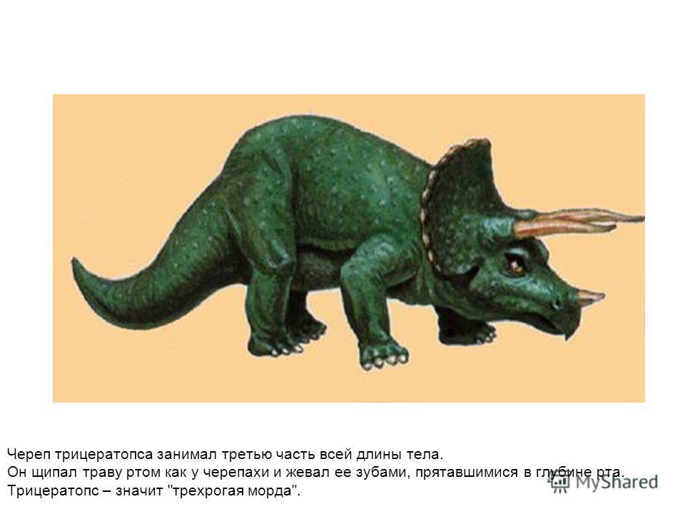 Череп трицератопса занимал третью часть всей длины тела. Он щипал траву ртом как у черепахи и жевал ее зубами, прятавшимися в глубине рта. Трицератопс – значит трехрогая морда.