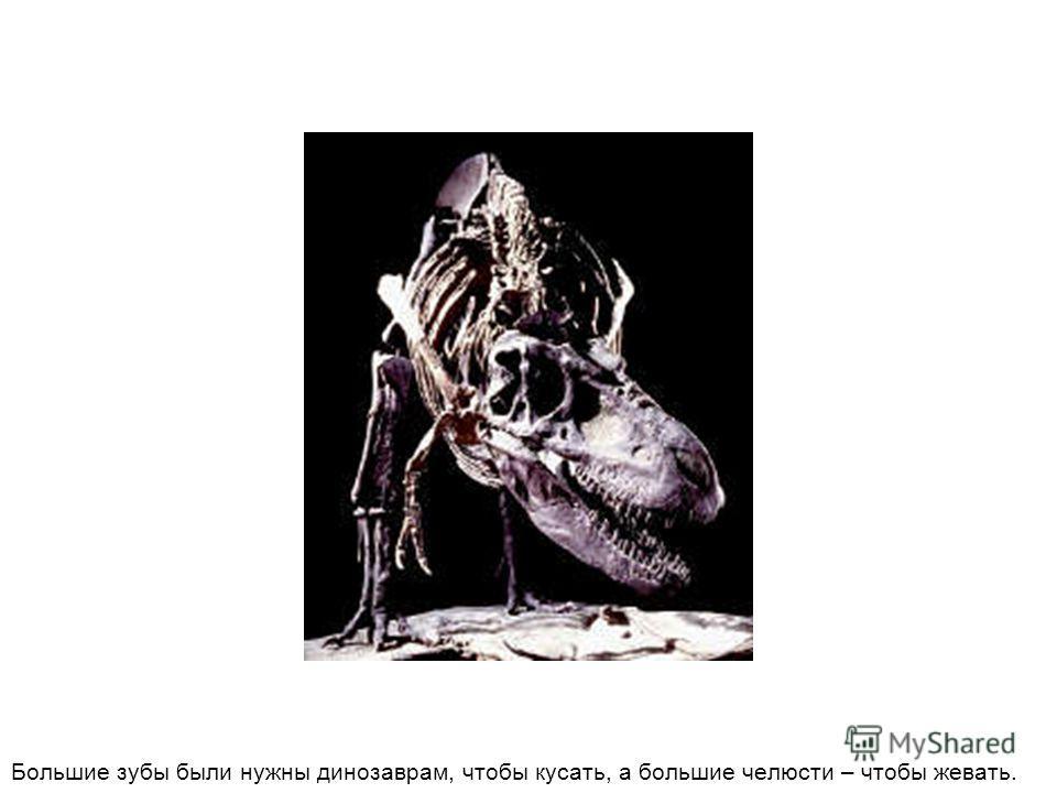 Большие зубы были нужны динозаврам, чтобы кусать, а большие челюсти – чтобы жевать.