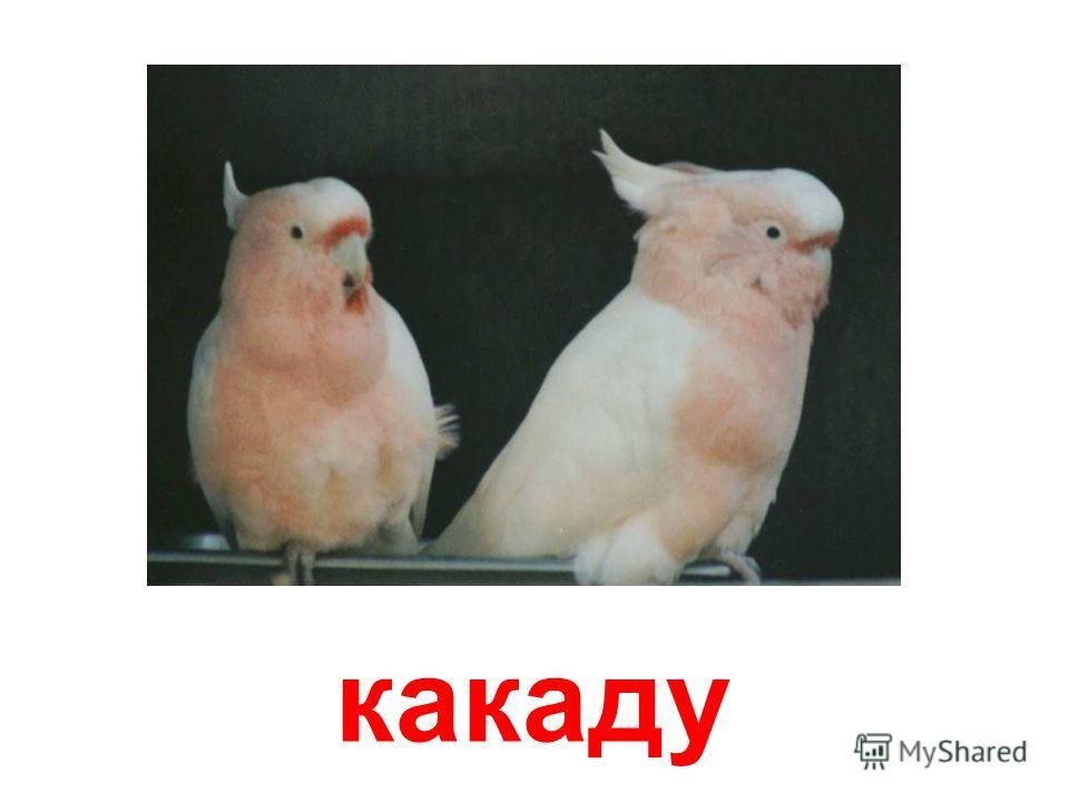 волнистый попугай Волнистый попугай