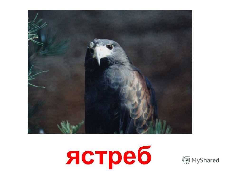орёл Орёл