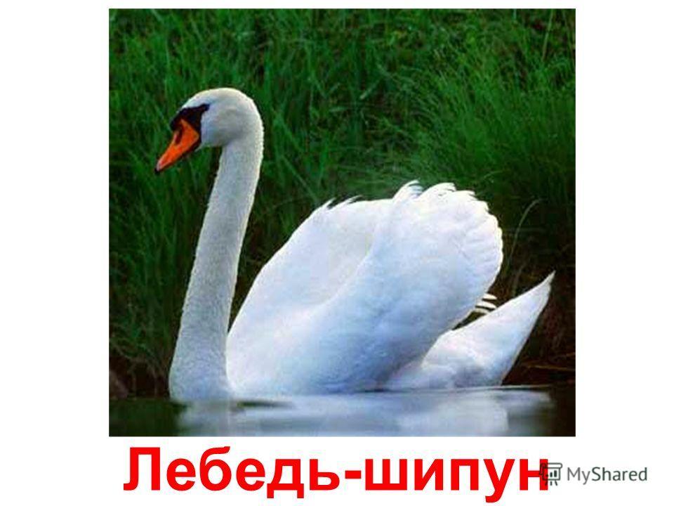 Гуси и лебеди papa-vlad.narod.ru