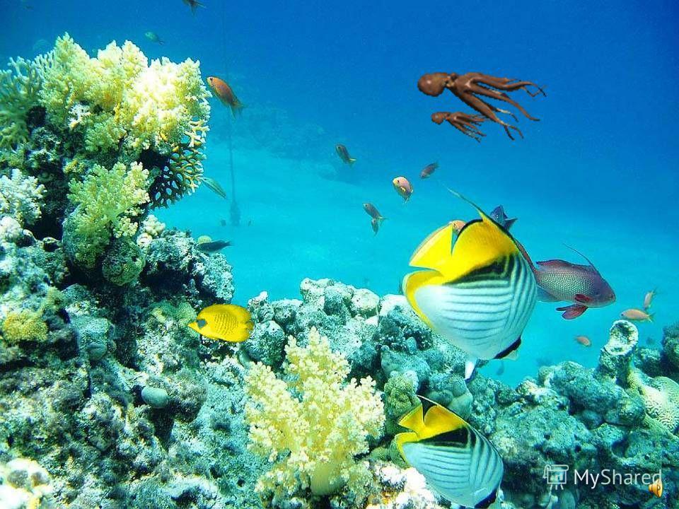 Кораллы бывают красными, чёрными, жёлтыми, белыми…. На морском дне буйство ярких красок! А сами коралловые рифы являются домом для самых удивительных существ.