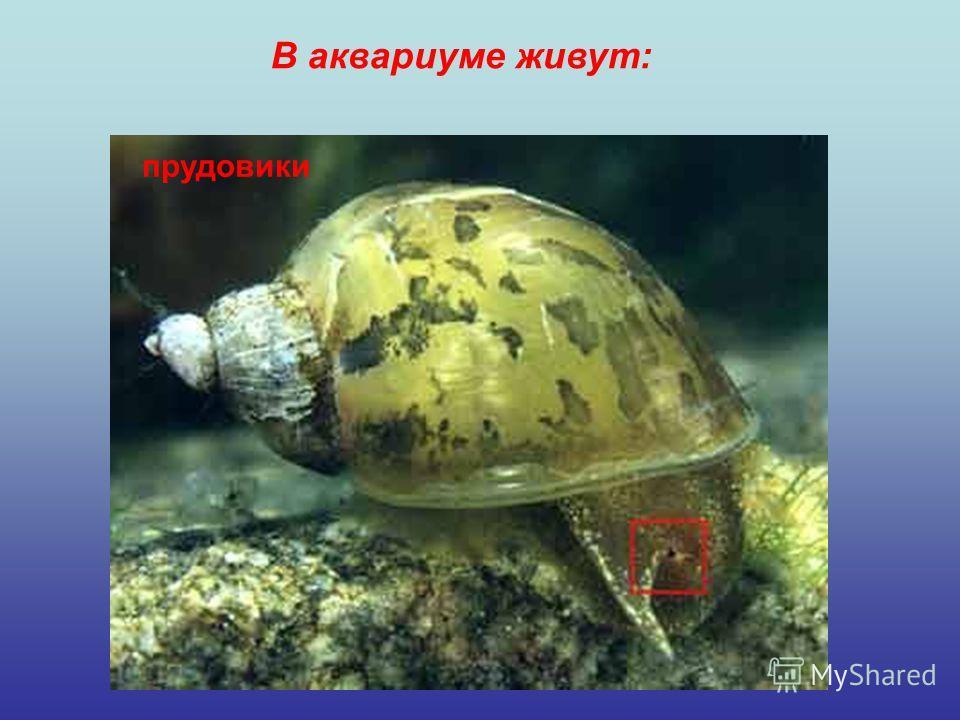 В аквариуме живут: прудовики