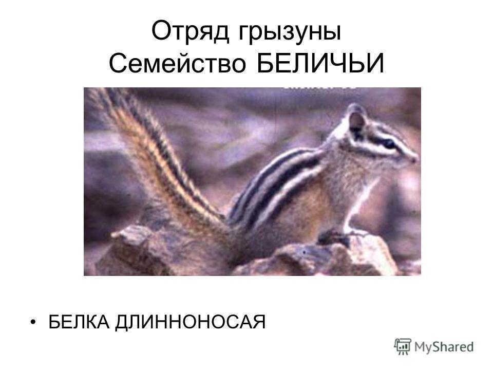 Отряд грызуны Семейство БЕЛИЧЬИ БЕЛКА ДЛИННОНОСАЯ