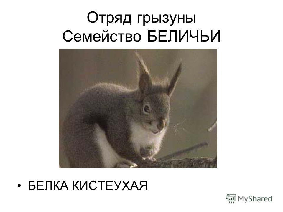 Отряд грызуны Семейство БЕЛИЧЬИ БЕЛКА КИСТЕУХАЯ