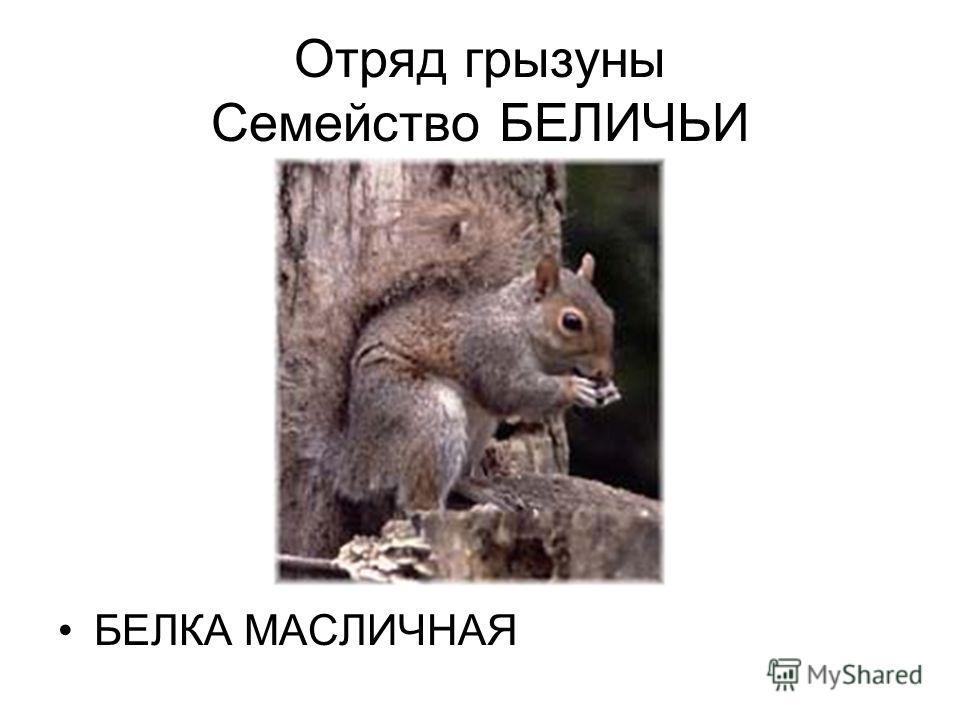 Отряд грызуны Семейство БЕЛИЧЬИ БЕЛКА МАСЛИЧНАЯ