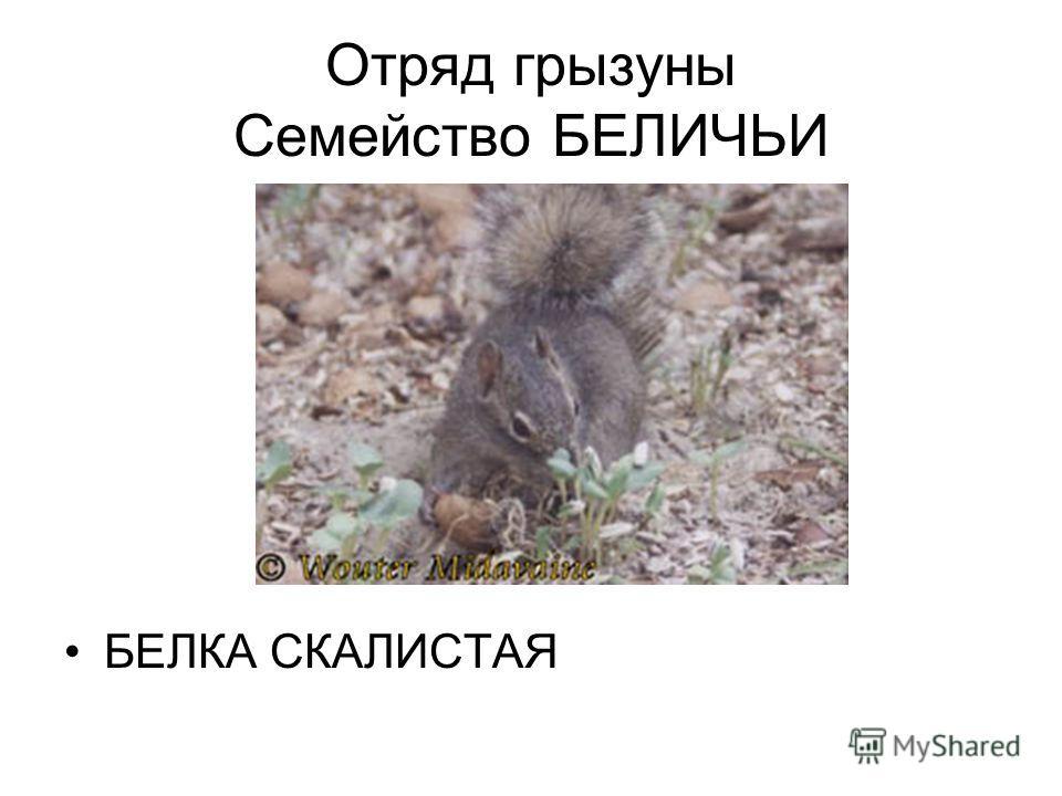 Отряд грызуны Семейство БЕЛИЧЬИ БЕЛКА СКАЛИСТАЯ