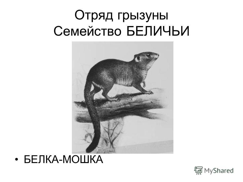 Отряд грызуны Семейство БЕЛИЧЬИ БЕЛКА-МОШКА