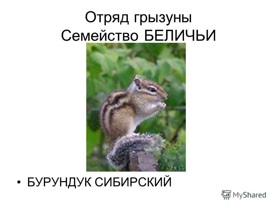 Отряд грызуны Семейство БЕЛИЧЬИ БУРУНДУК СИБИРСКИЙ