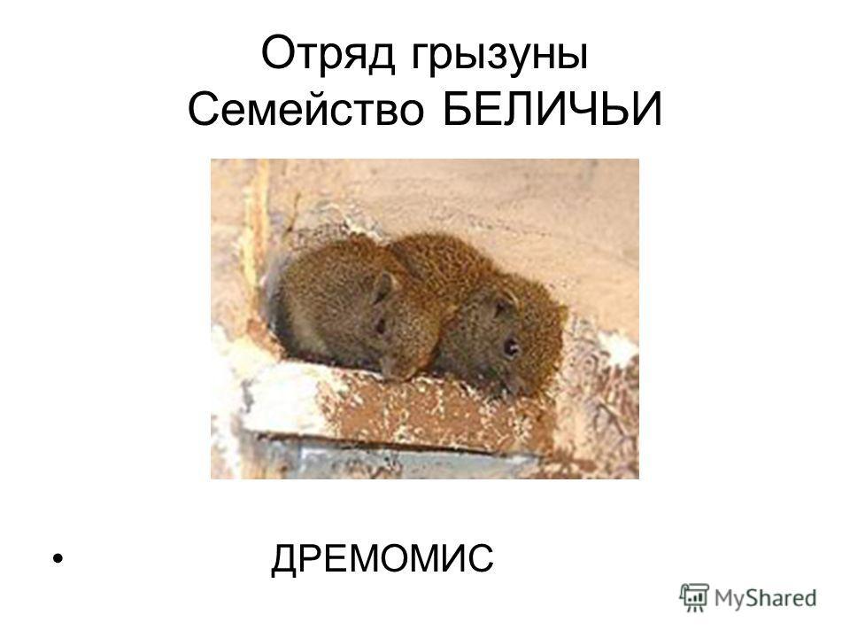 Отряд грызуны Семейство БЕЛИЧЬИ ДРЕМОМИС
