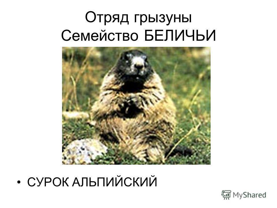 Отряд грызуны Семейство БЕЛИЧЬИ СУРОК АЛЬПИЙСКИЙ