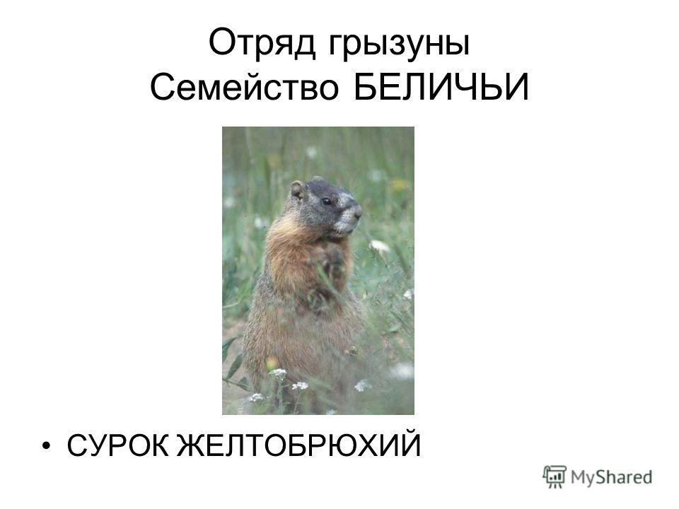 Отряд грызуны Семейство БЕЛИЧЬИ СУРОК ЖЕЛТОБРЮХИЙ