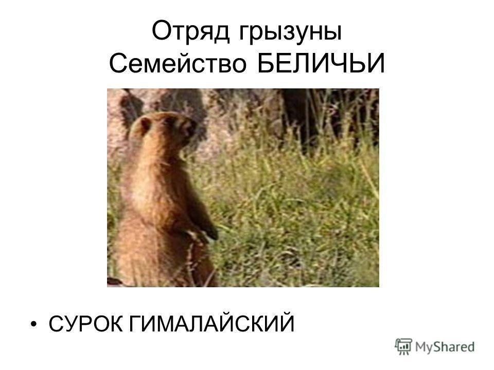 Отряд грызуны Семейство БЕЛИЧЬИ СУРОК ГИМАЛАЙСКИЙ