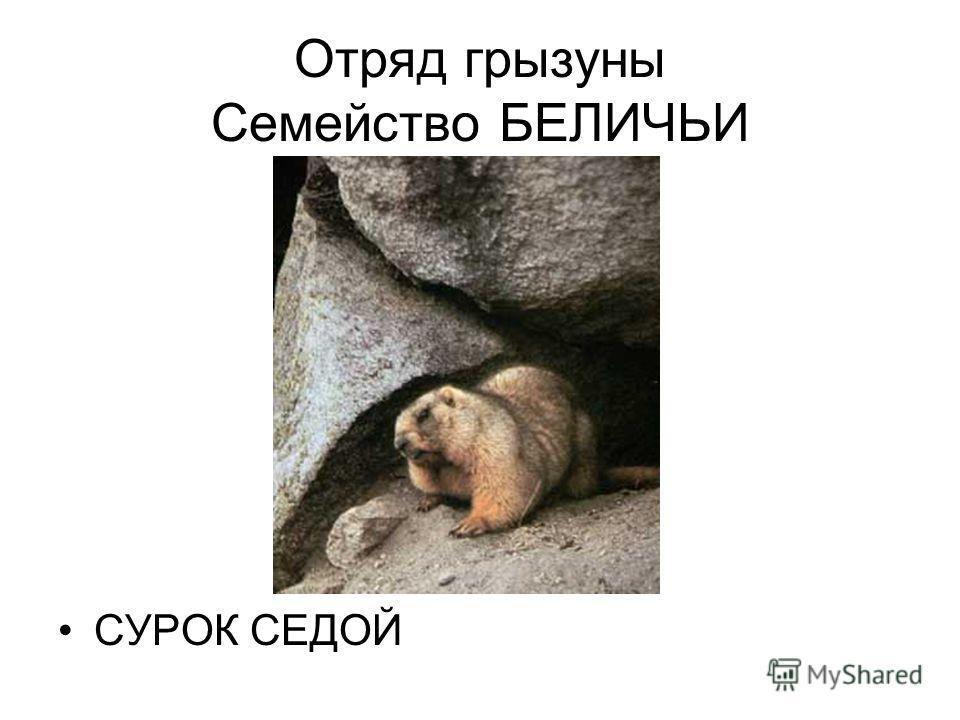 Отряд грызуны Семейство БЕЛИЧЬИ СУРОК СЕДОЙ