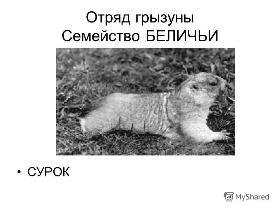 Отряд грызуны Семейство БЕЛИЧЬИ СУРОК