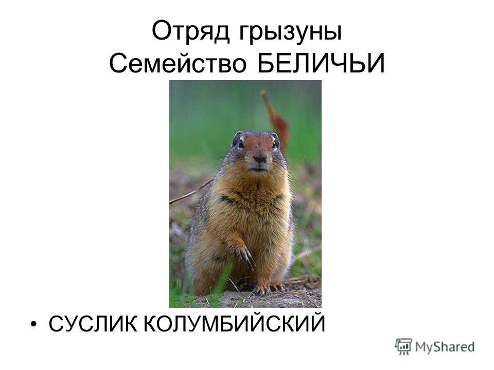 Отряд грызуны Семейство БЕЛИЧЬИ СУСЛИК КОЛУМБИЙСКИЙ