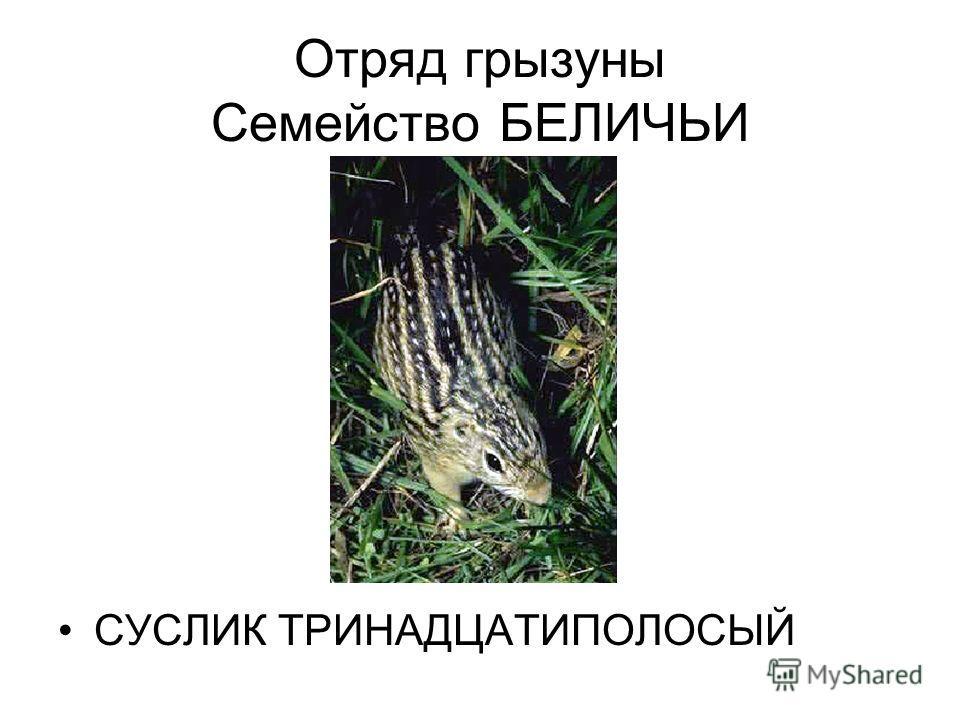 Отряд грызуны Семейство БЕЛИЧЬИ СУСЛИК ТРИНАДЦАТИПОЛОСЫЙ