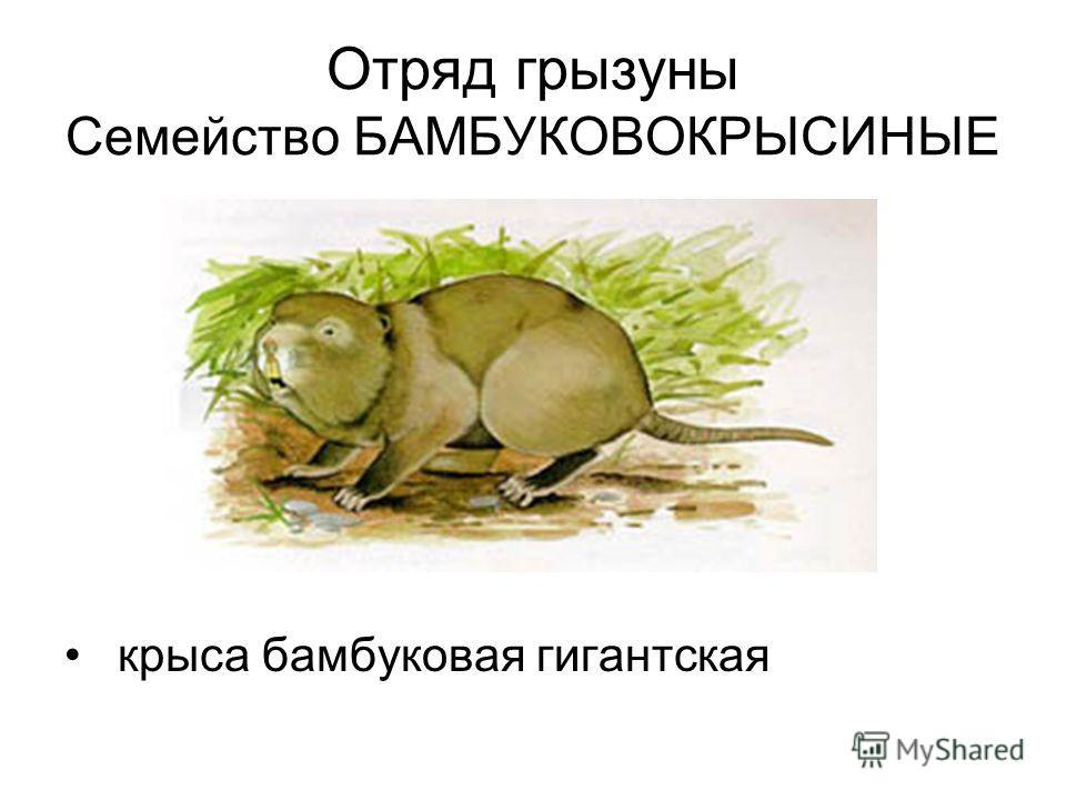 Отряд грызуны Семейство БАМБУКОВОКРЫСИНЫЕ крыса бамбуковая гигантская