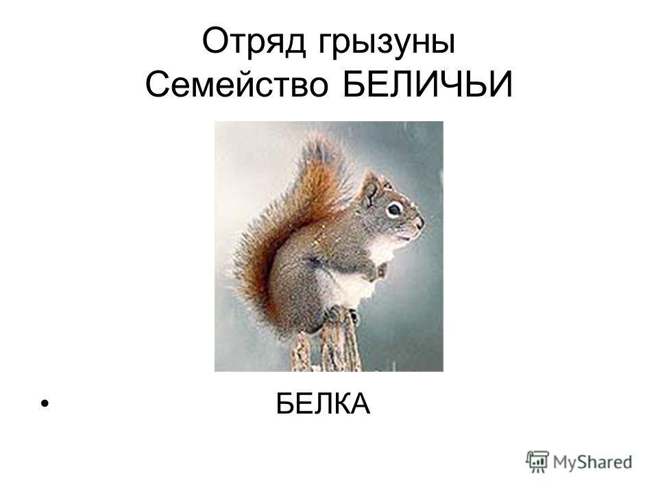 Отряд грызуны Семейство БЕЛИЧЬИ БЕЛКА