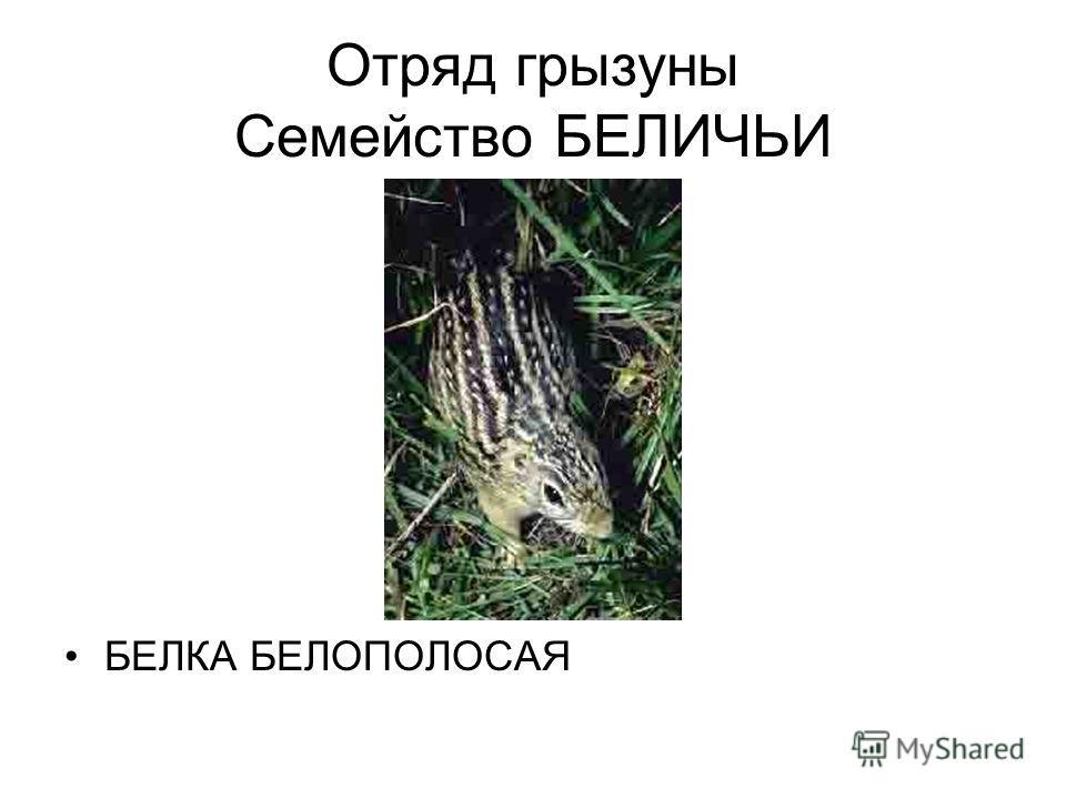 Отряд грызуны Семейство БЕЛИЧЬИ БЕЛКА БЕЛОПОЛОСАЯ