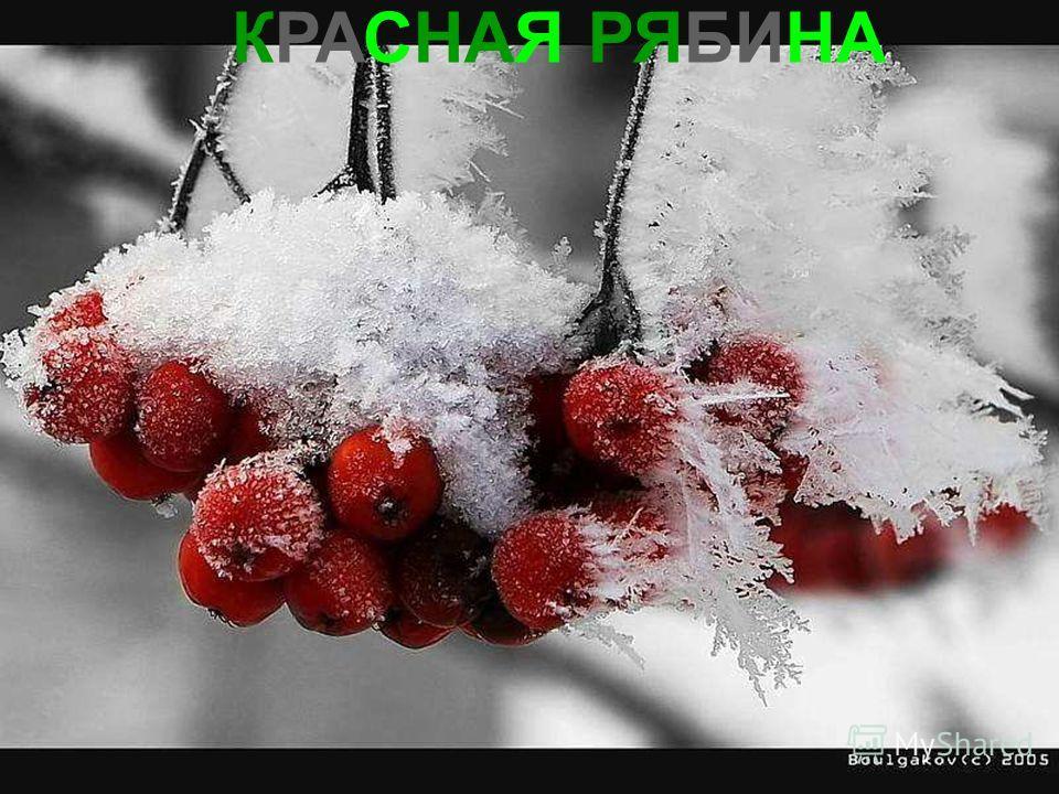 КРАСНАЯ РЯБИНА Красная рябина