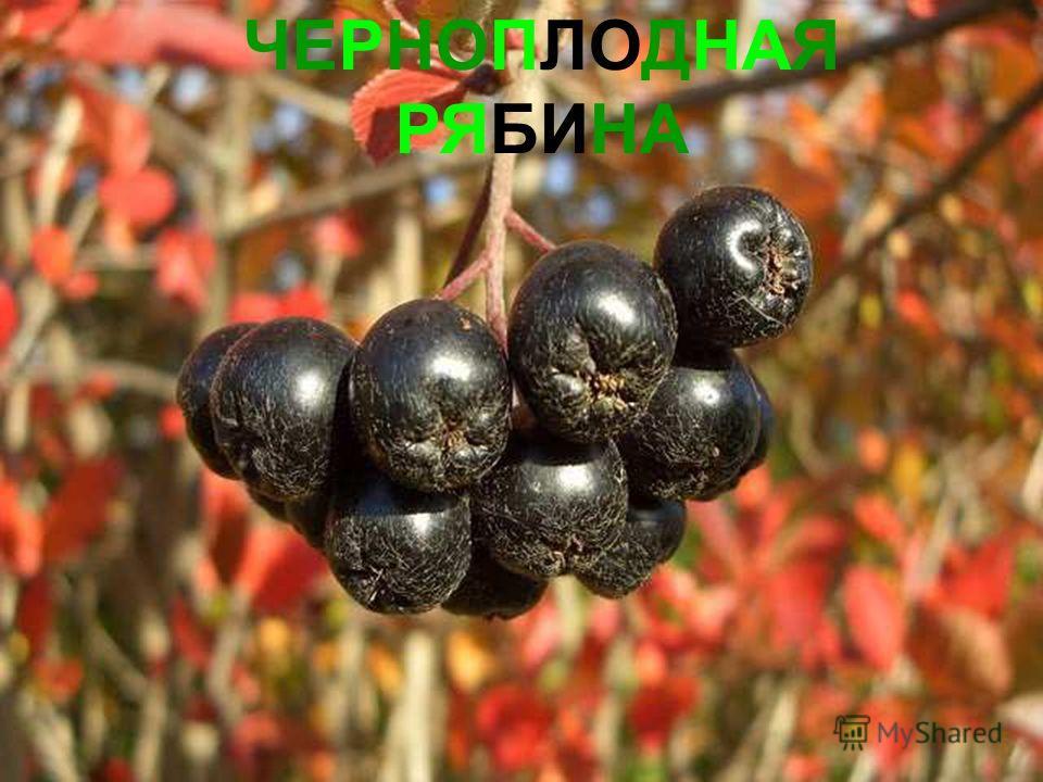 ЧЕРНОПЛОДНАЯ РЯБИНА Черноплодная рябина