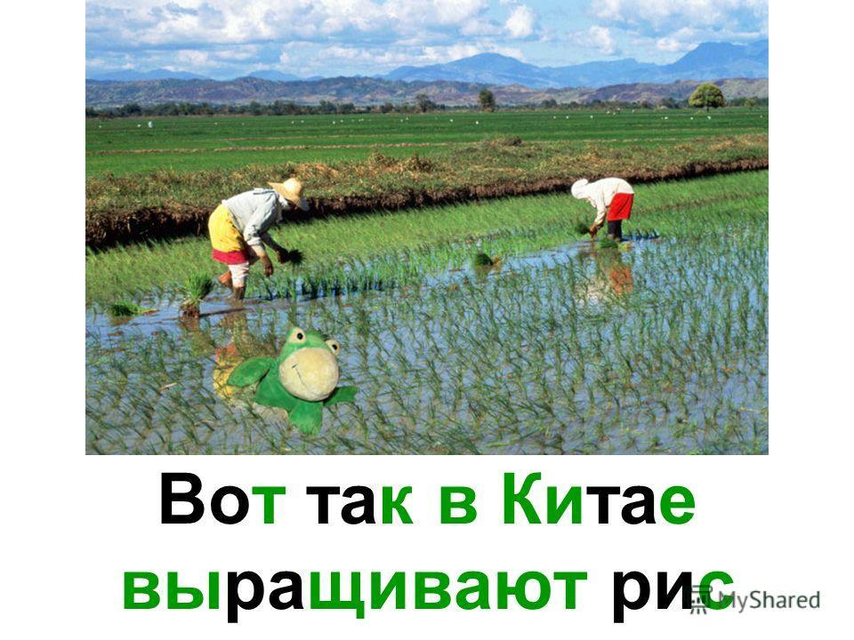 Вот так в Китае выращивают рис