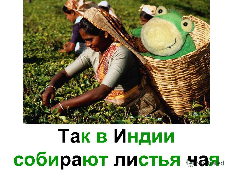 Так в Индии собирают листья чая