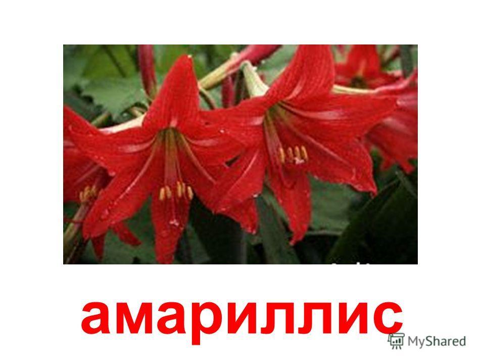 клубненосная лилия