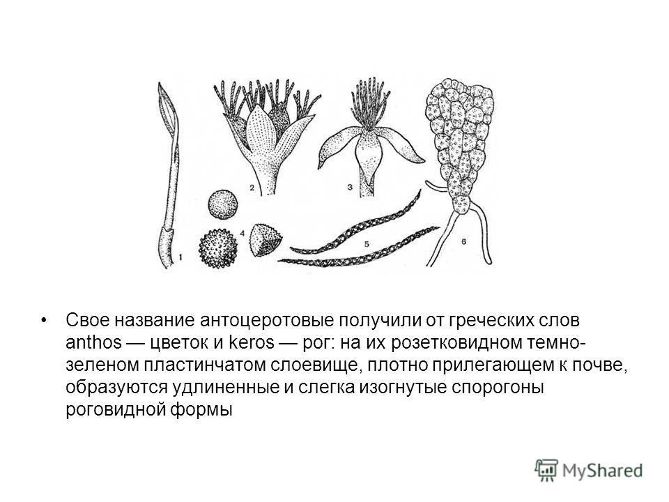 Свое название антоцеротовые получили от греческих слов anthos цветок и keros рог: на их розетковидном темно- зеленом пластинчатом слоевище, плотно прилегающем к почве, образуются удлиненные и слегка изогнутые спорогоны роговидной формы