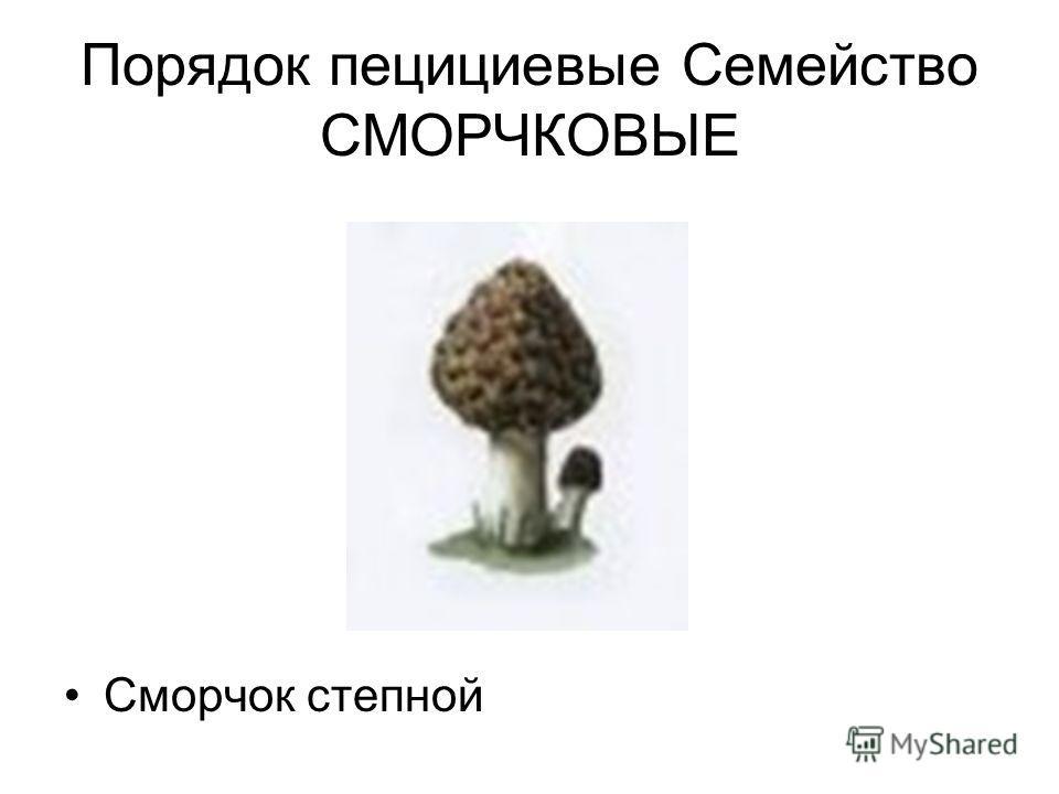 Порядок пецилиевые Семейство СМОРЧКОВЫЕ Сморчок степной