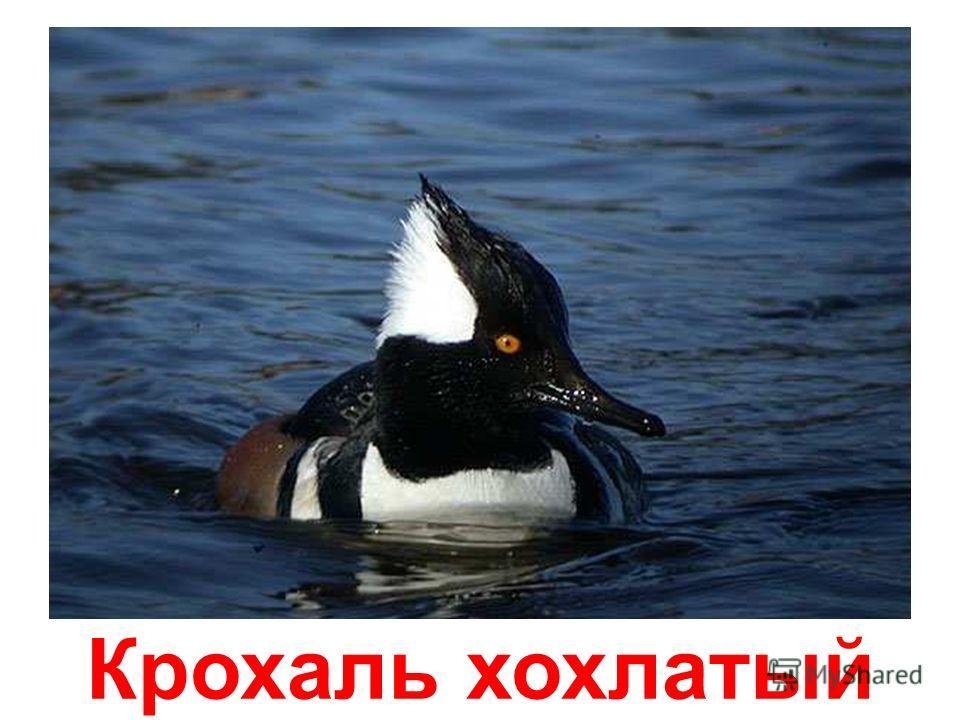 Белая хохлатая утка