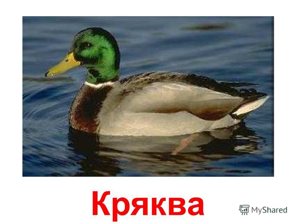 Утки papa-vlad.narod.ru