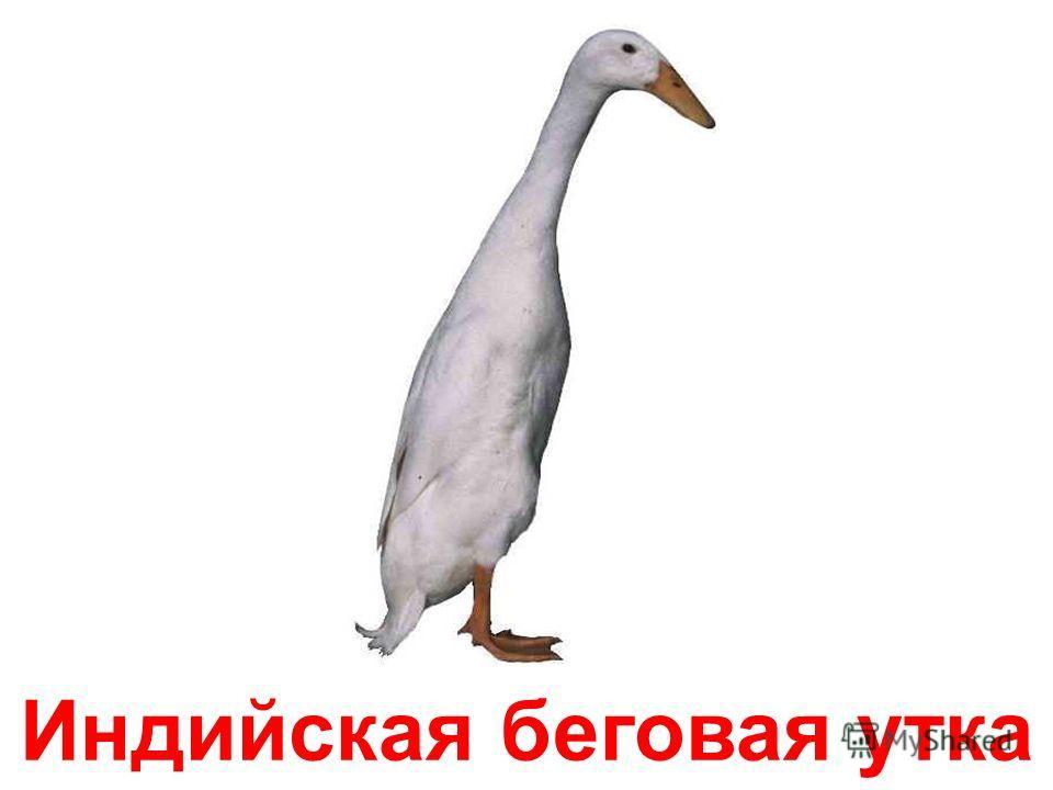 Американская чёрная утка