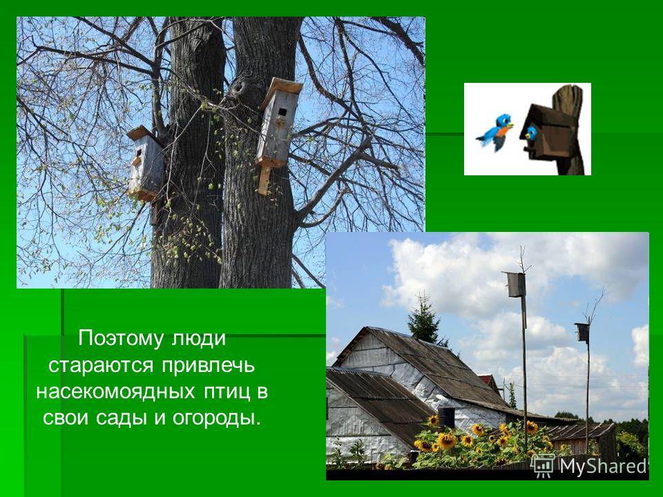 Поэтому люди стараются привлечь насекомоядных птиц в свои сады и огороды.