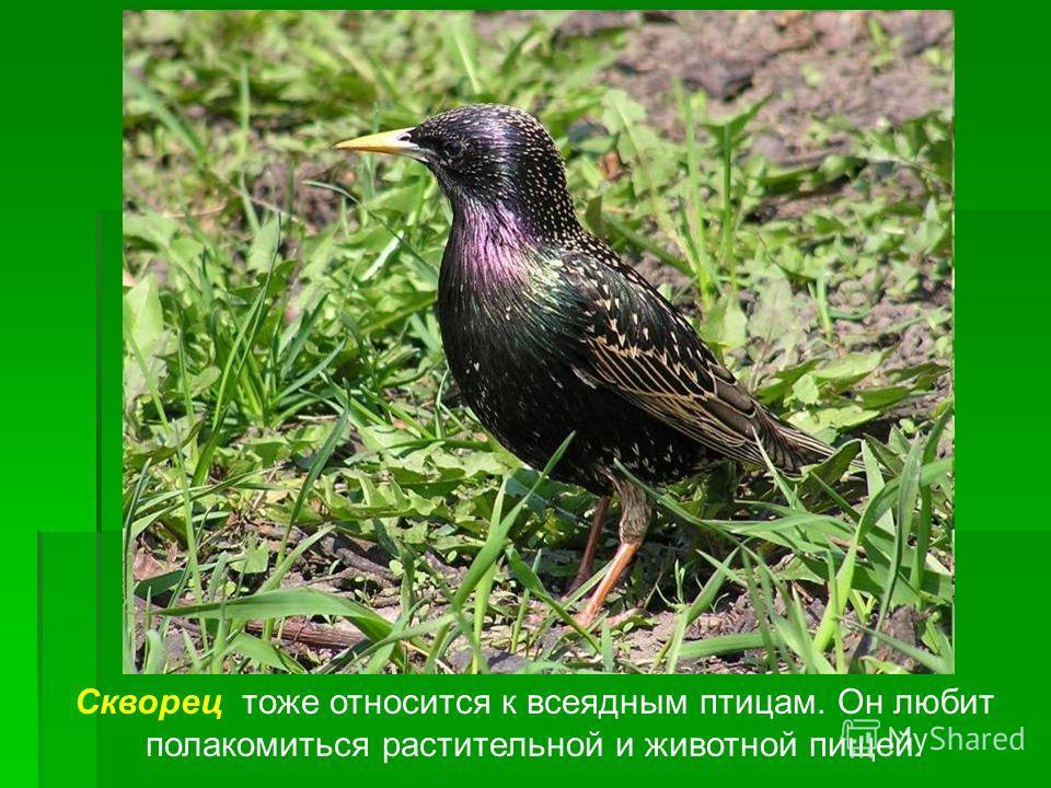 Скворец тоже относится к всеядным птицам. Он любит полакомиться растительной и животной пищей.