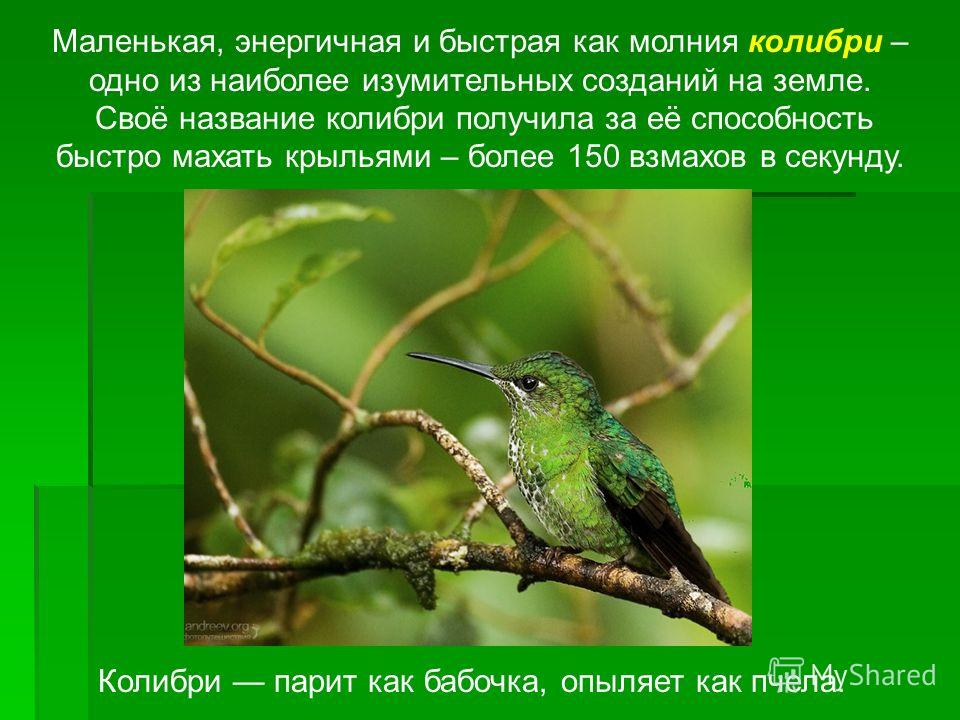 Маленькая, энергичная и быстрая как молния колибри – одно из наиболее изумительных созданий на земле. Своё название колибри получила за её способность быстро махать крыльями – более 150 взмахов в секунду. Колибри парит как бабочка, опыляет как пчела.