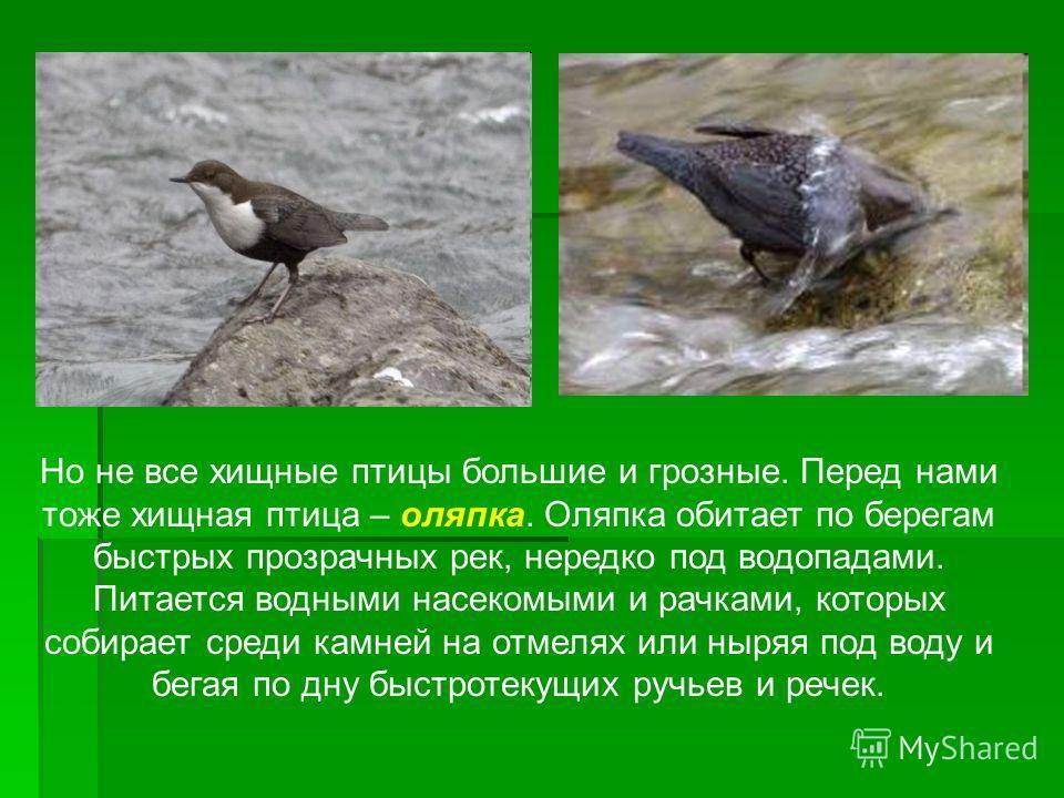 Но не все хищные птицы большие и грозные. Перед нами тоже хищная птица – оляпка. Оляпка обитает по берегам быстрых прозрачных рек, нередко под водопадами. Питается водными насекомыми и рачками, которых собирает среди камней на отмелях или ныряя под в