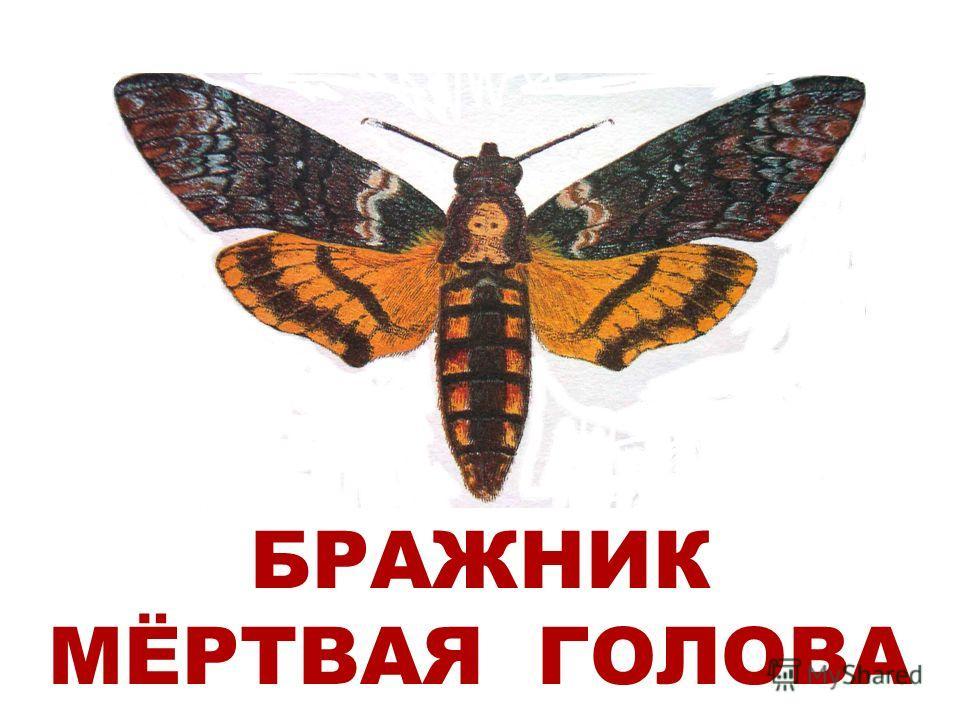 БРАЖНИК МЁРТВАЯ ГОЛОВА