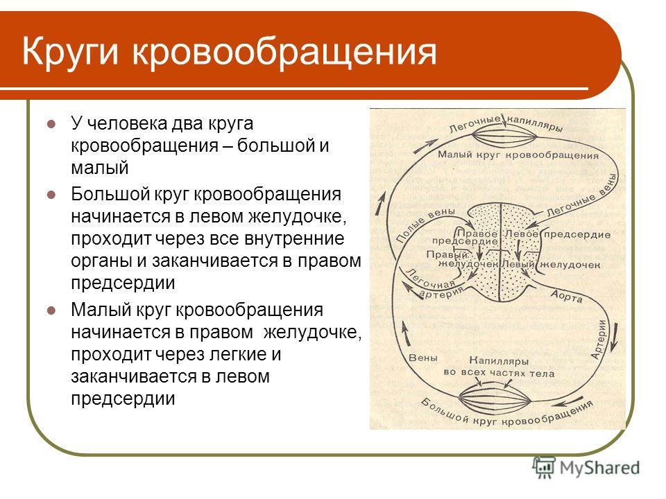 Круги кровообращения У человека два круга кровообращения – большой и малый Большой круг кровообращения начинается в левом желудочке, проходит через все внутренние органы и заканчивается в правом предсердии Малый круг кровообращения начинается в право