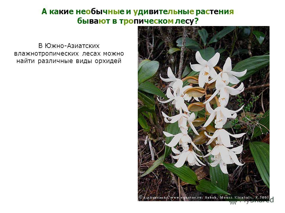 В Южно-Азиатских влажнотропических лесах можно найти различные виды орхидей А какие необычные и удивительные растения бывают в тропическом лесу?