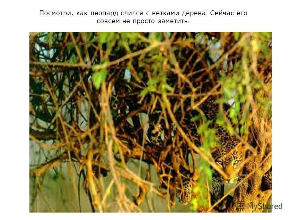 Посмотри, как леопард слился с ветками дерева. Сейчас его совсем не просто заметить.