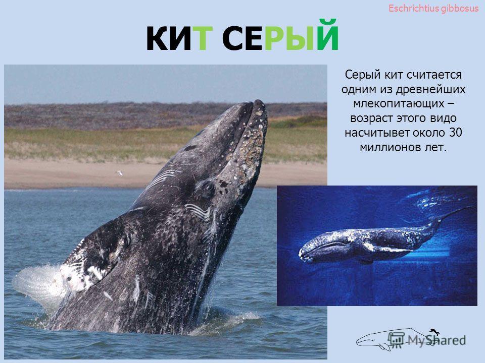 Eschrichtius gibbosus КИТ СЕРЫЙ Серый кит считается одним из древнейших млекопитающих – возраст этого вида насчитывает около 30 миллионов лет.